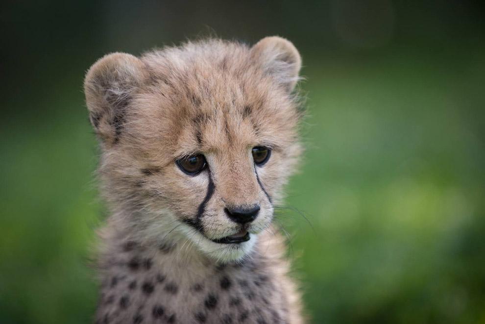 Гепарды занесены в Красную книгу Международного союза охраны природы как «уязвимый вид»: из-за