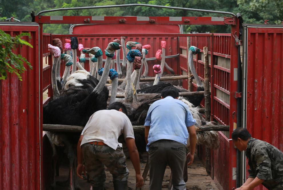 12. Перевозка страусов в фургоне выглядит весьма забавно. Самим страусам не так весело, скорее