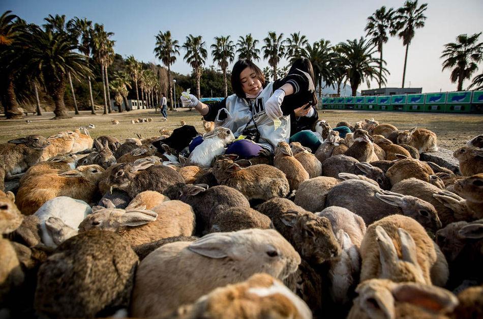 В 1971 году группа школьников выпустила на абсолютно безжизненном острове восемь кроликов, впоследст