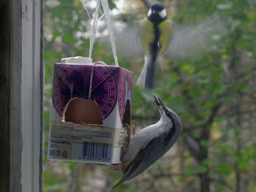Обыкновенный поползень (Sitta europaea). С некоторых пор он стал посещать нашу кормушку за окном. На синиц, порхающих рядом, поползень не обращает внимания в принципе. Он, как торпеда, летит и засовывает голову в отверстие, еще не успев зацепиться за кормушку ногами. Бывает, он пикирует прямо на сидящую синицу, которая еле успевает отлететь. Или синице приходится пережидать на лету. Автор фото: Юрий Семенов