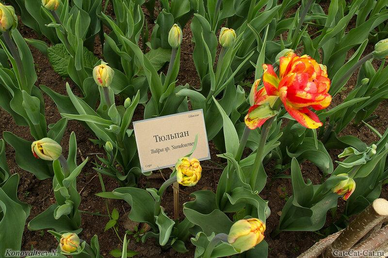 Тюльпан Sundowner