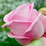 Нежность розового цвета
