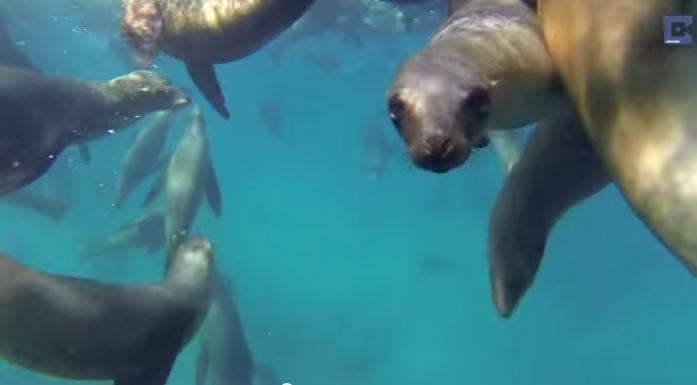Поплавать в море с морскими львами