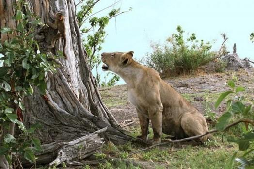 Львица оставила в живых детеныша бабуина 0 11e706 773807b4 orig