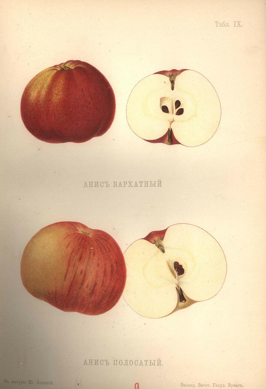 09. Анис бархатный и Анис полосатый