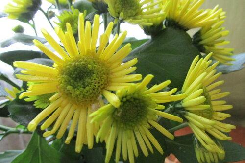 Хризантемы  желтые.