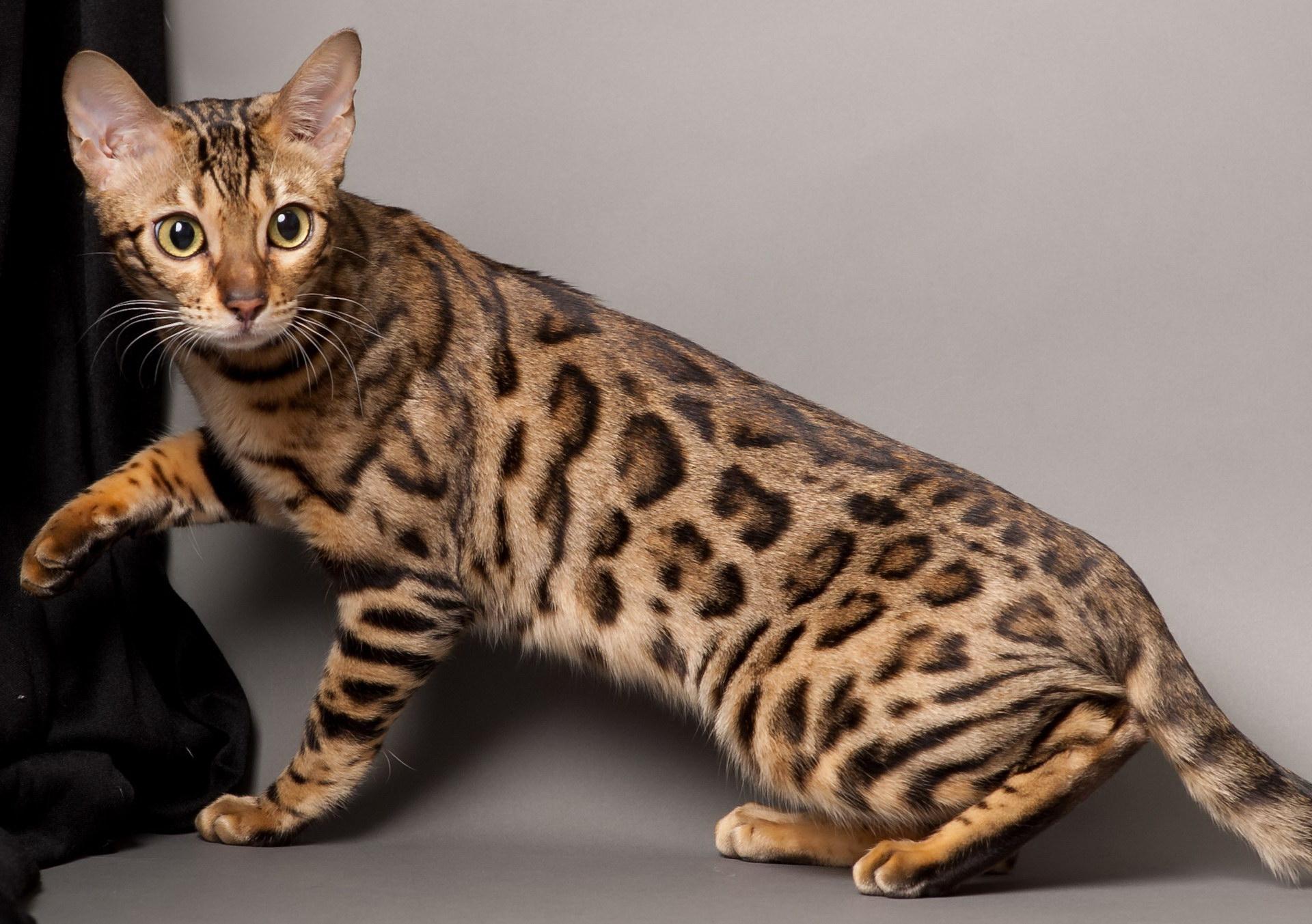 Плямиста кішка