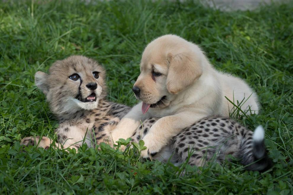 Также сморите « Что на ужин у гепардов? » и « Самая уродливая собака в мире 2016 ».