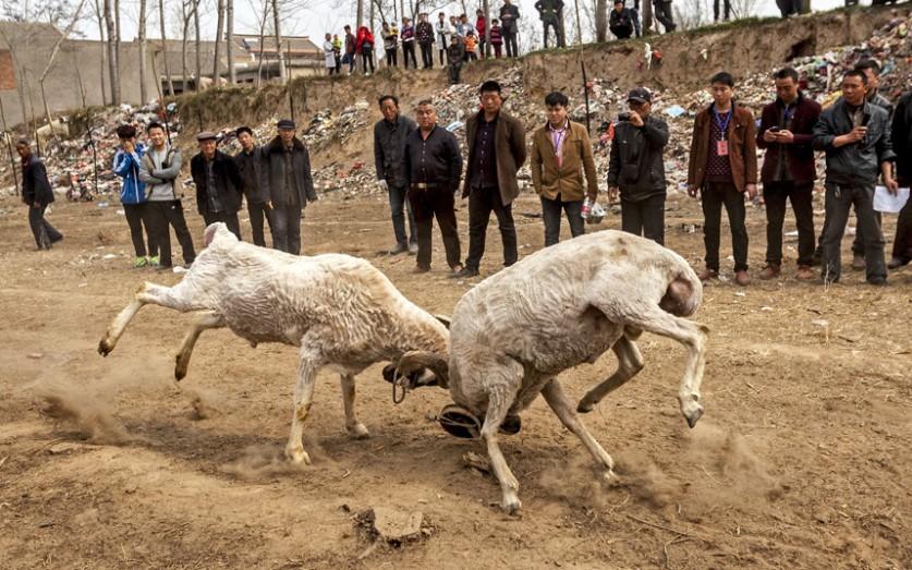 Бой баранов на храмовой ярмарке в деревне в провинции Хэнань, Китай.
