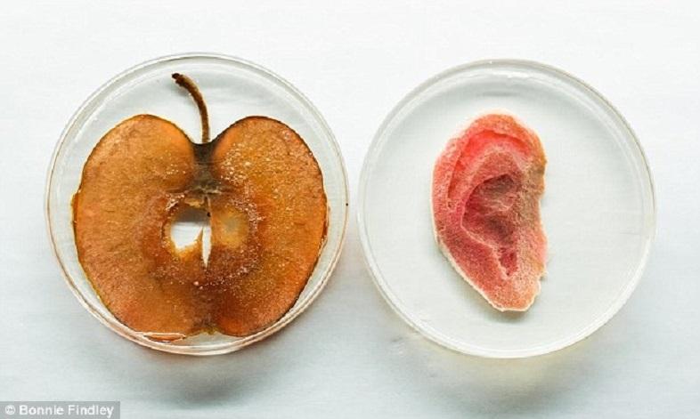 Органы израстений будут растить ученые
