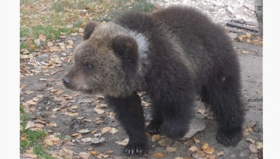 Красноярцам предлагают приобрести медведицу за1 руб.