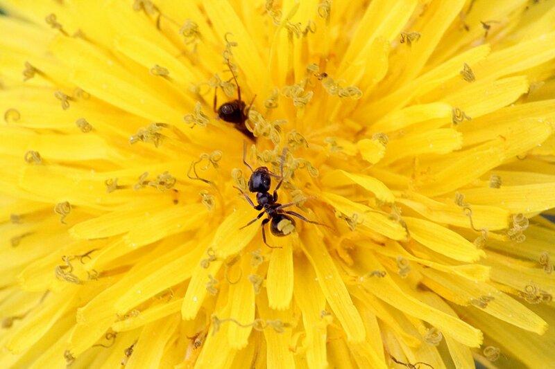 Чёрный муравей собирает нектар на жёлтых цветках одуванчика