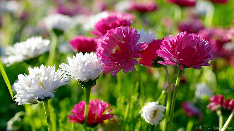 Обои на рабочий стол летние цветы