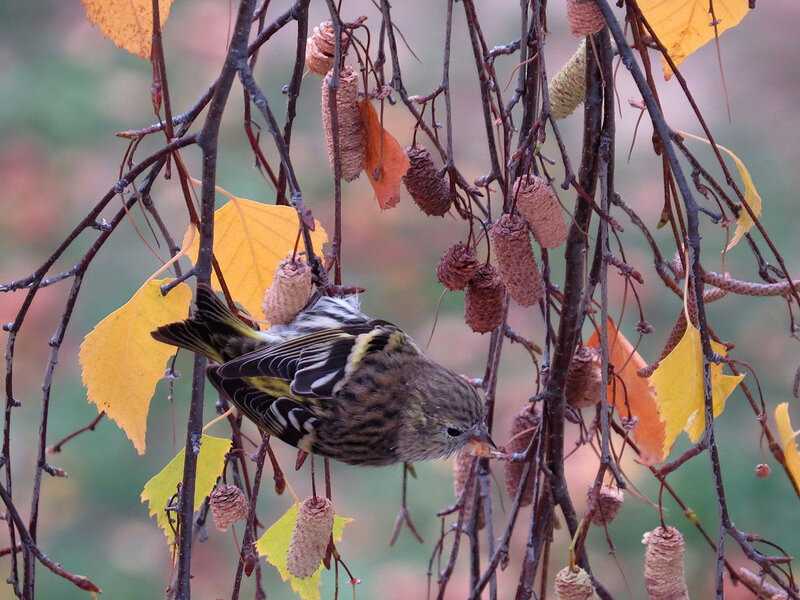 On birch siskin ....