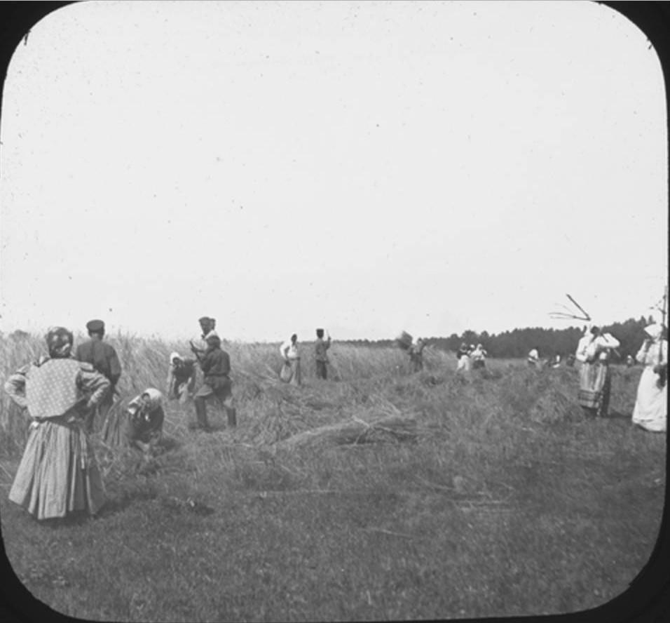 18. Мужчины и женщины на уборке урожая в поле