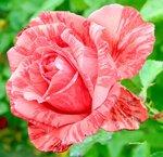 Раскраска в розовых тонах