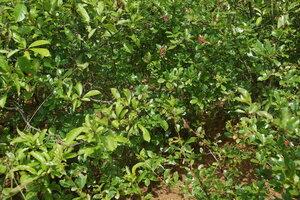 Вишня кустарниковая (Cerasus fruticosa)