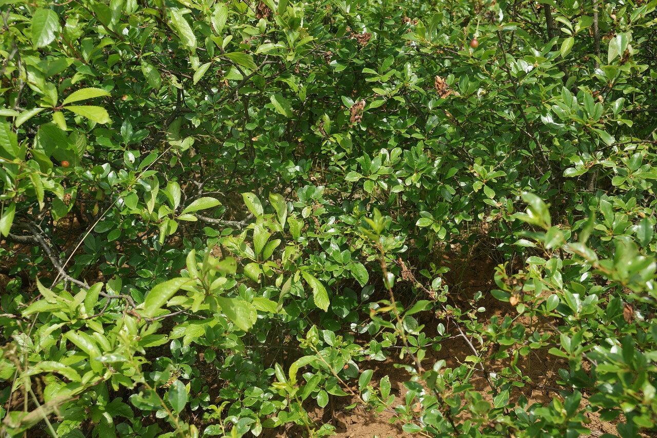 Вишня кустарниковая (Cerasus fruticosa). Автор фото: Привалова Марина