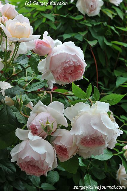 Rosa The Wedgwood Rose (2).JPG