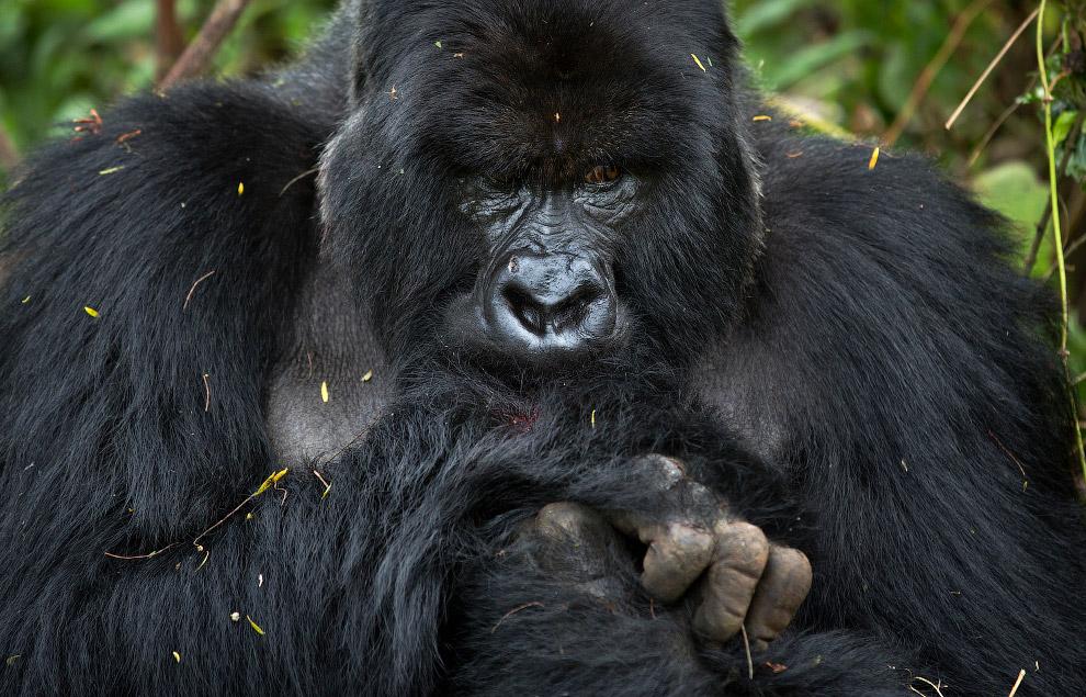 Национальный парк вулканов в Руанде является известным центром экологического туризма. Организо
