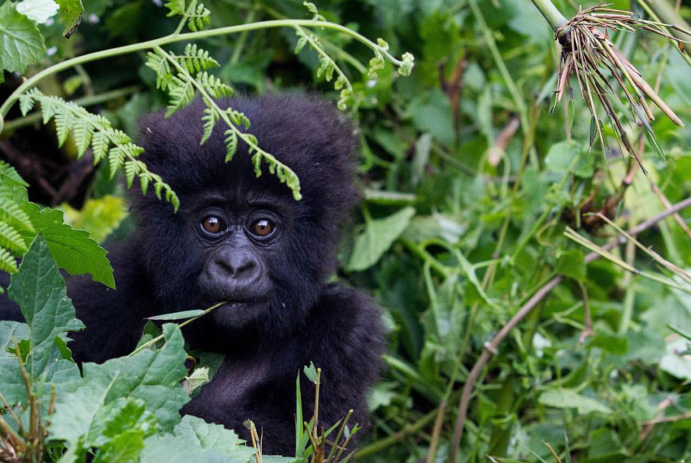 18. Горные гориллы — очень редкий вид на грани исчезновения. Национальный парк Вулканов, Руанда