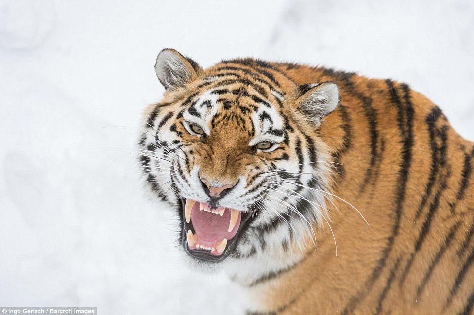 3.  «Было снежно. После 2 часов ожидания появились тигры. Внезапно они начали двигаться навс