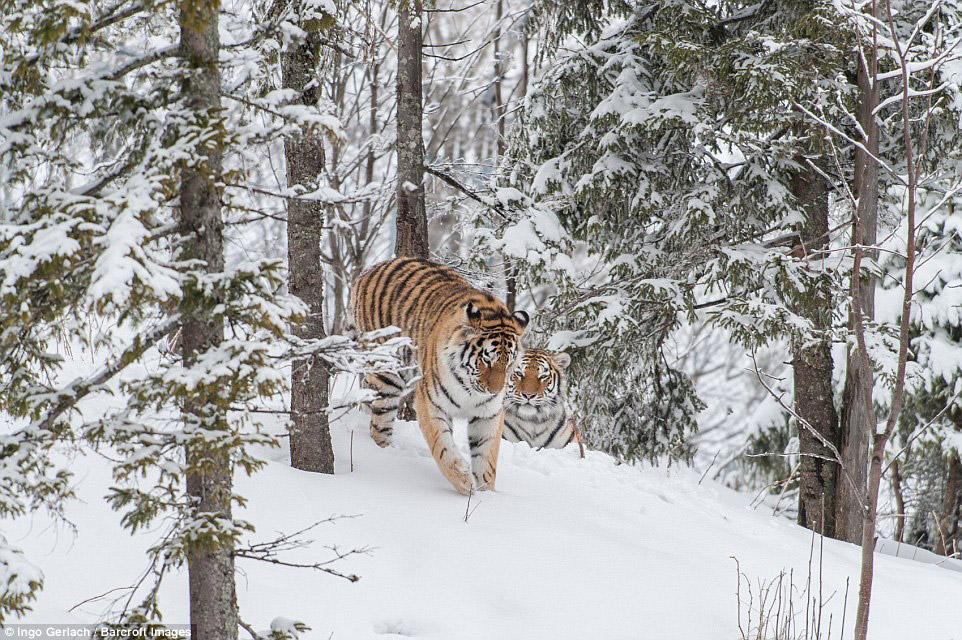 6. Амурский тигр — властелин огромных территорий, площадь которых у самки составляет 300—500 км