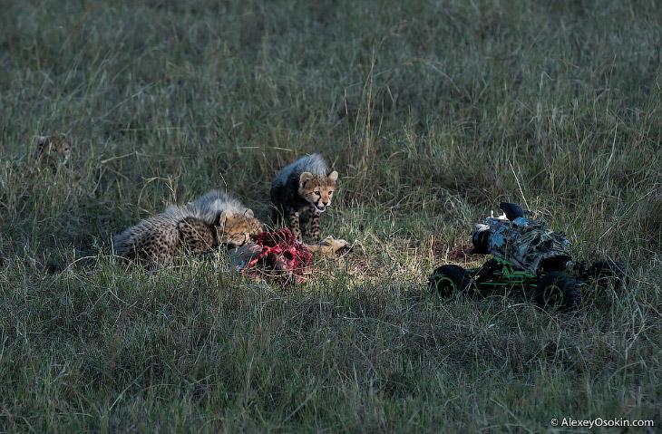 Фотографии и текст Alexey Osokin   Наблюдение Когда я начинаю работать с новым животным, пер