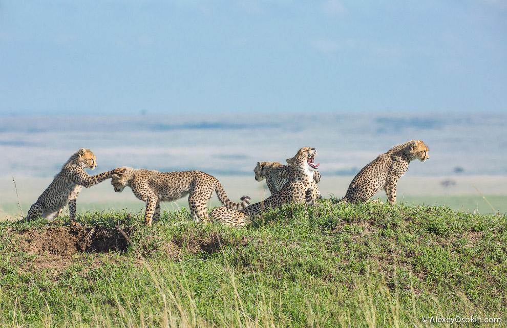 6. Даже если вы не угадали с направлением, то просто посмотрите, куда гепард движется. Они редк