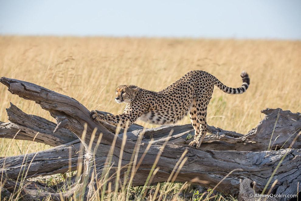 10. Охота. Все хотят сделать снимки гепарда в момент охоты, когда самое быстрое в мире животное