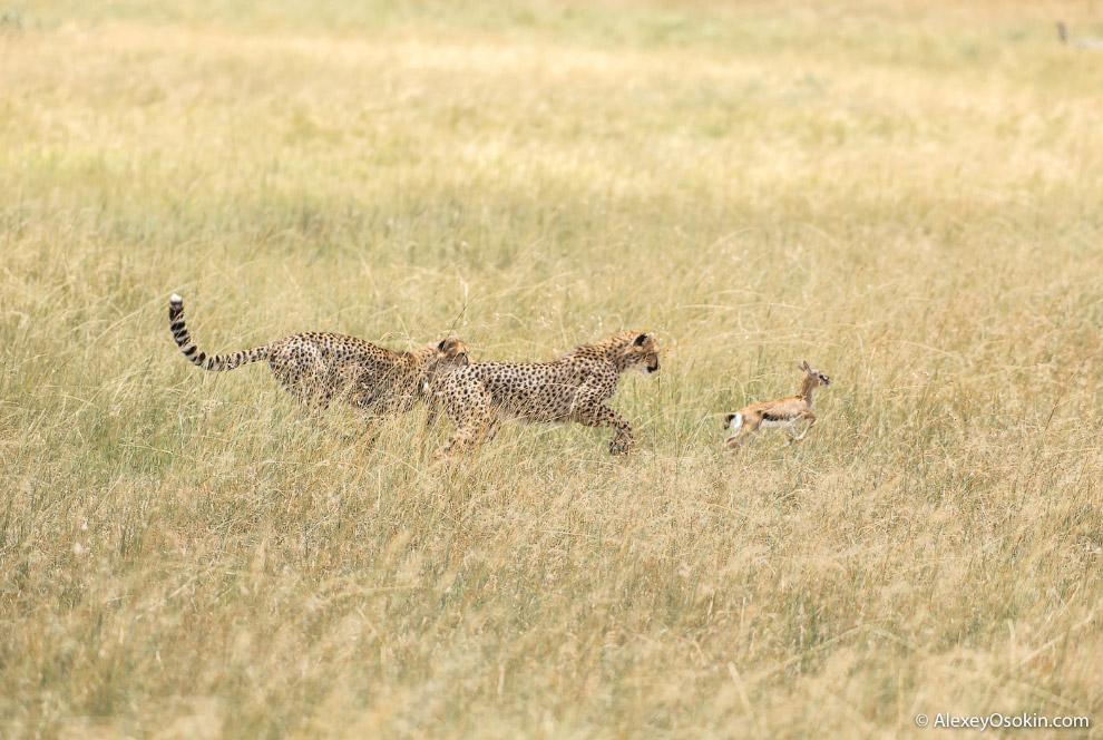 20. С прогуливающимися гепардами и охотой разобрались. Что дальше? Если на горизонте не появили