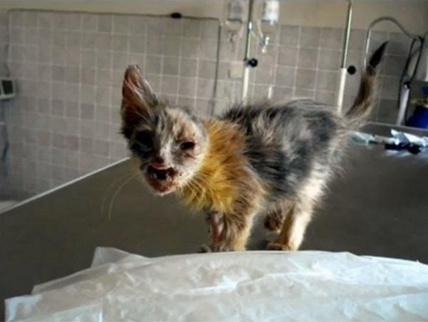Страшно представить, что же такое могло случиться с этим котенком, что он дошел до такого состояния.