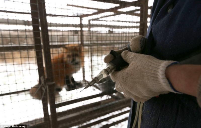 На таких фермах животные живут от 8 месяцев до 3 лет, но в любом случае исход их жизни предрешен...