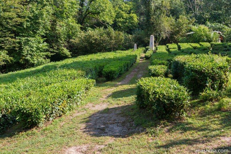 Чайная плантация в усадьбе Кошмана, Солохаул, Сочи