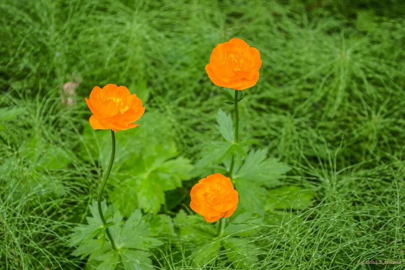 Цветы пади Идиба