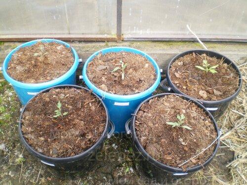 А это выращивание уличных сортов томатов в вёдрах.
