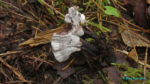Феллодон чёрно-белый (Phellodon melaleucus) Автор фото: Кром Игорь