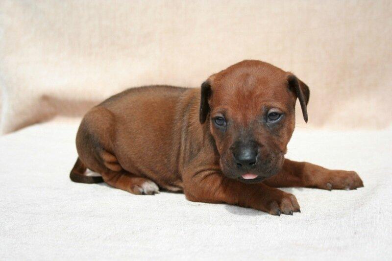 Купить щенка родезийского риджбека в Москве