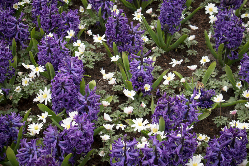 Blue hyacinths and white anemone on the lawn in the botanical garden