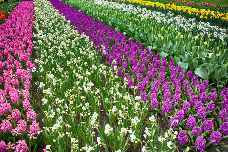 the Multicolored fields of daffodils, tulips and hyacinths in Holland