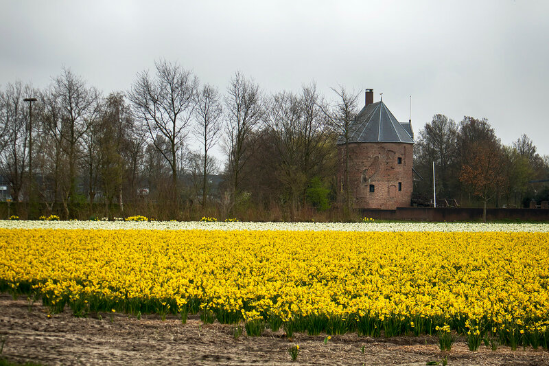 Fields with daffodils and Dutch houses in the spring