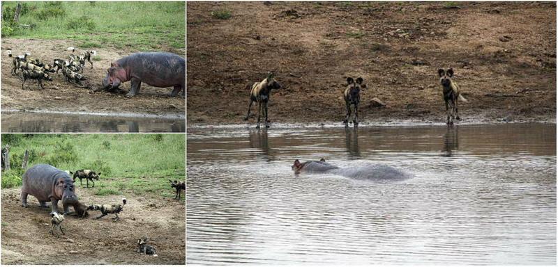 Схватка бегемота с дикими собаками за тушу уотербака