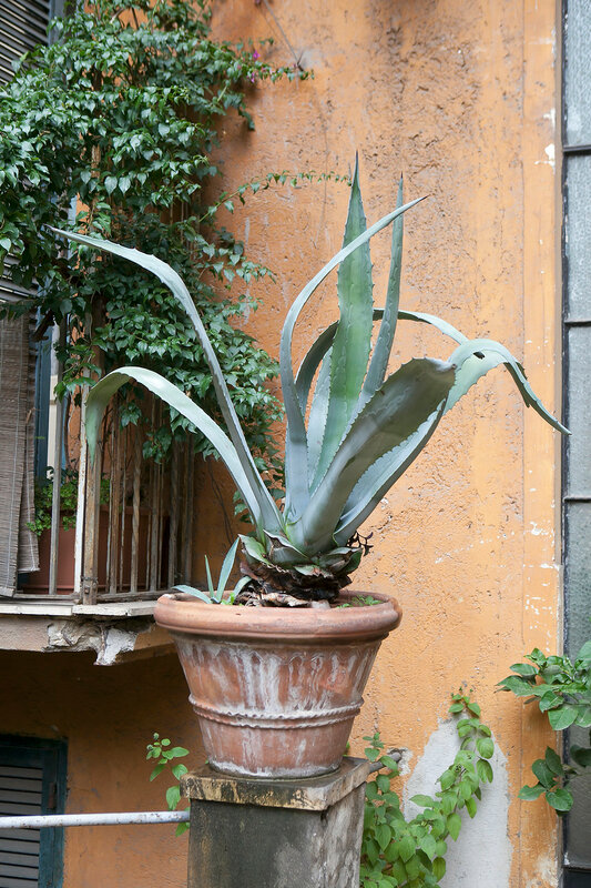 Agave in the pot adorns the entrance to the house in Rome