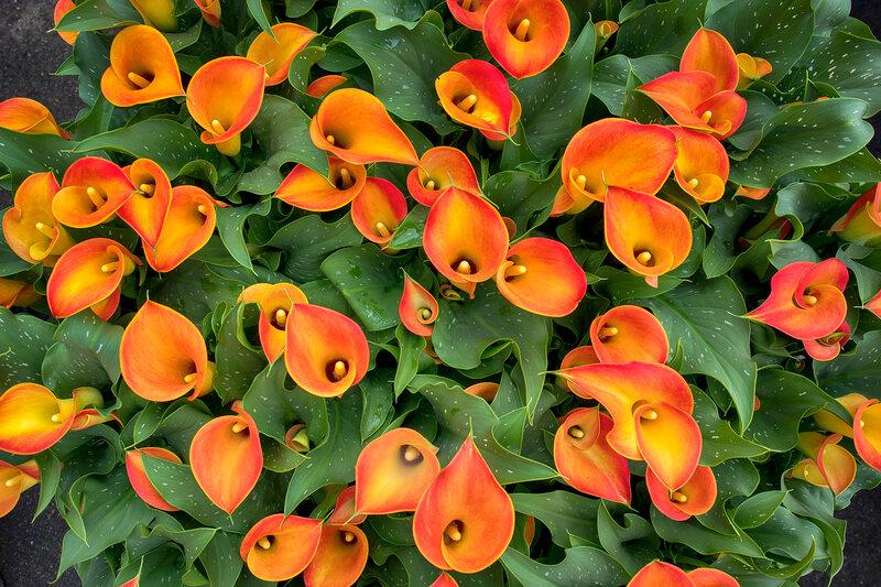 the orange Calla flower colored garden field cultivation