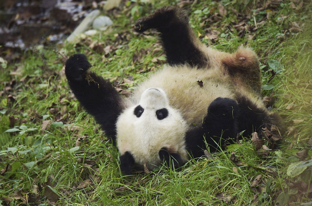 Работа нянькой панды: полное довольствие и $23 000 в год