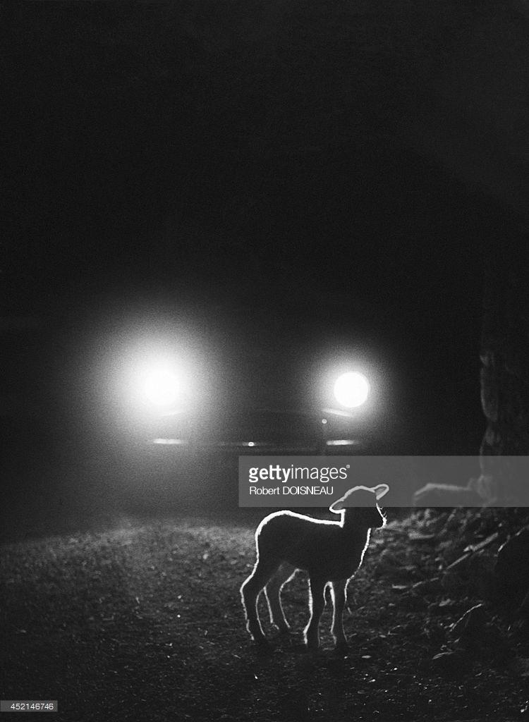 1958. Маленький ягненок через фары автомобиля во время сезонного перегона на летние пастбища возле Вальберга 25 июня