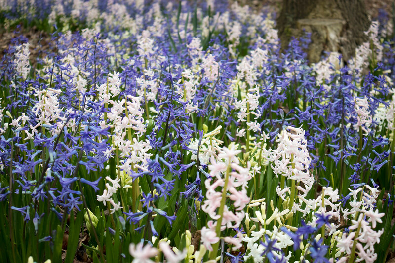 Blue and white hyacinths on the lawn in the botanical garden