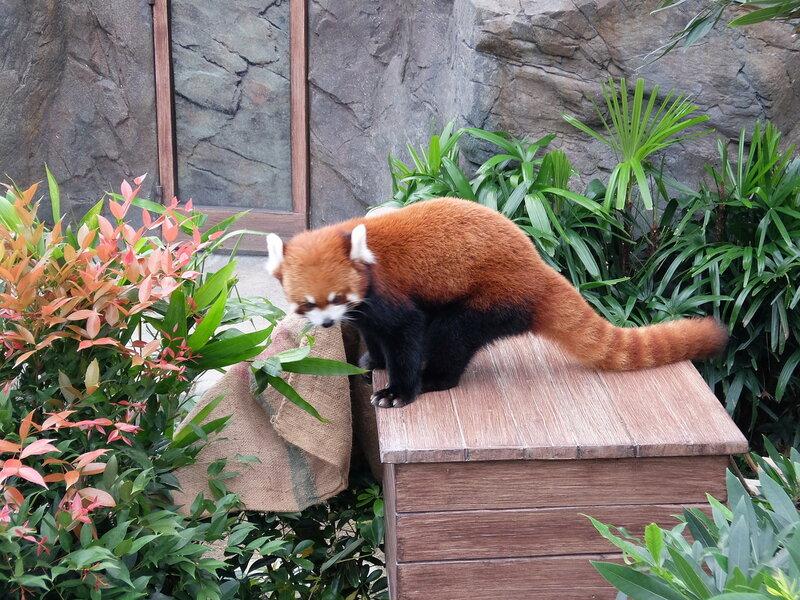 Гонконг - Oкеанический парк - Малая панда