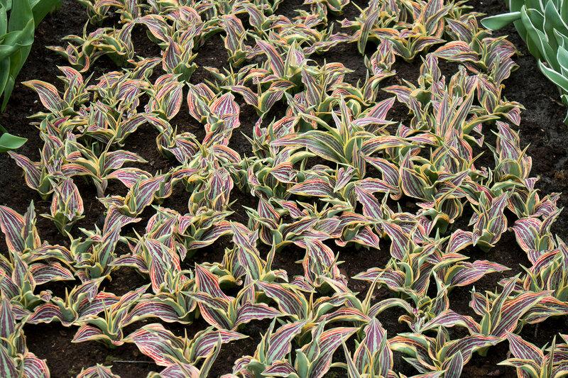 the Dracaena reflexa on the lawn in the botanical garden