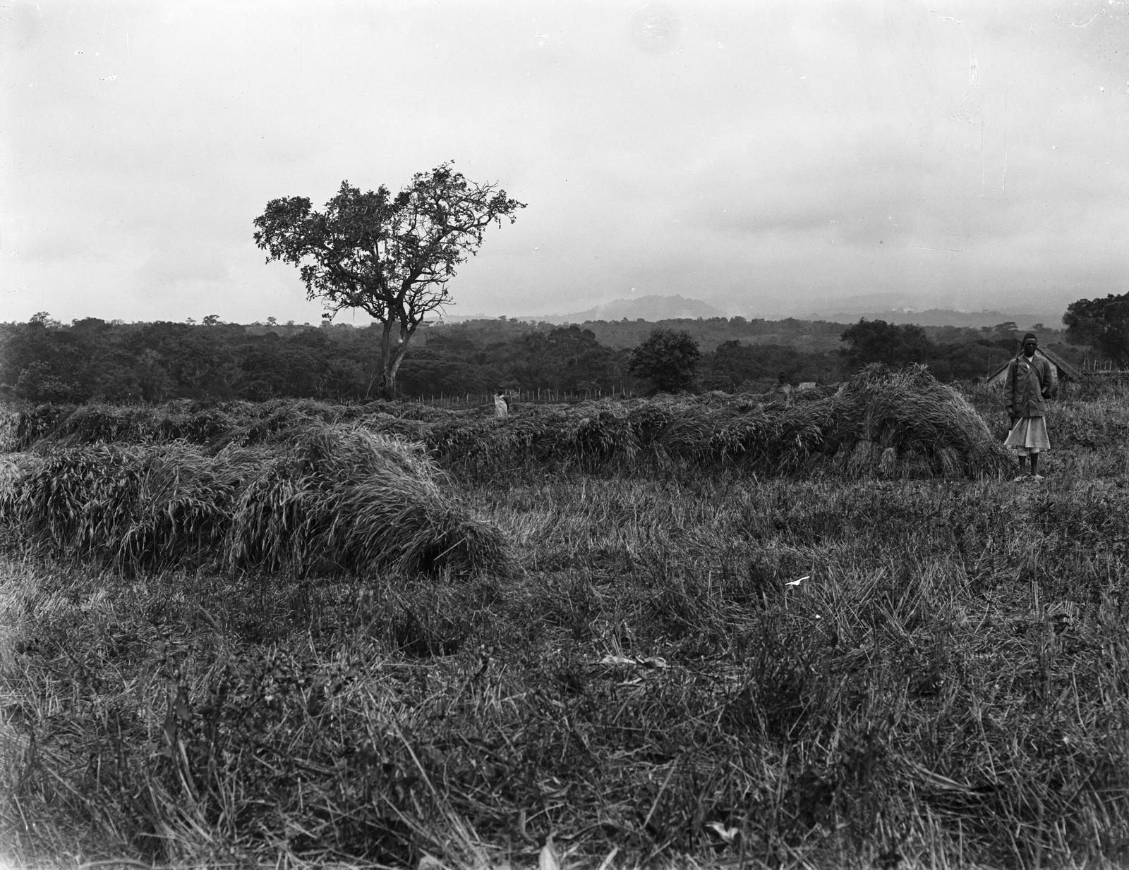 119. Пшеничное поле в окрестностях вулкана Меру